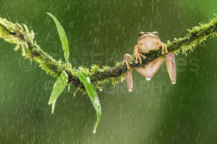 A Masked Tree Frog