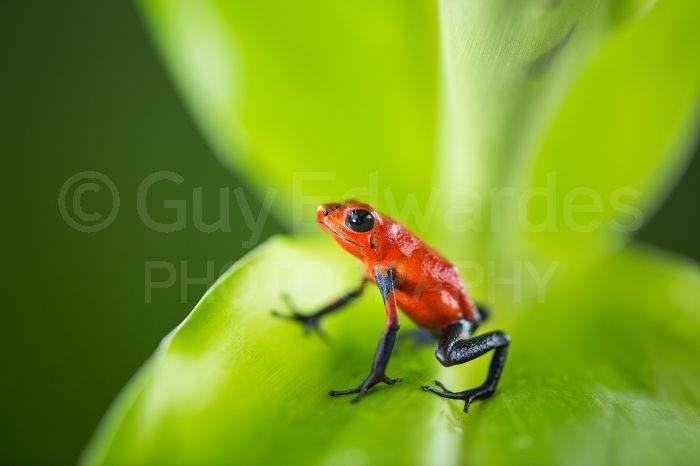 Strawberry (blue-jeans) Poison-dart Frog