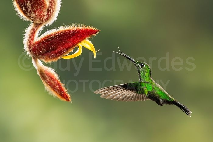 Green-crowned Brilliant Hummingbird feeding from a heliconia