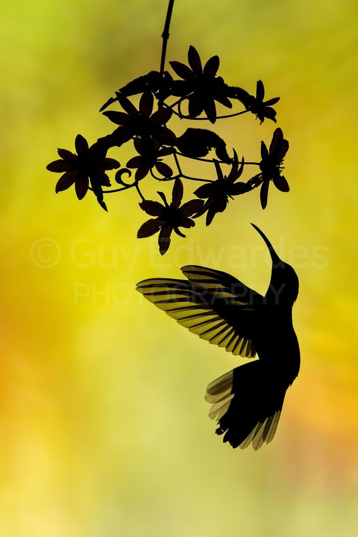 Violet Sabrewing Hummingbird in silhouette