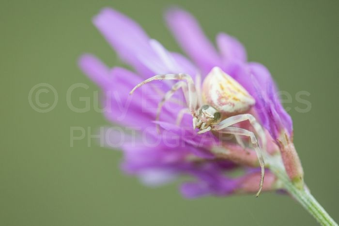 Many wildflowers were host to crab spiders