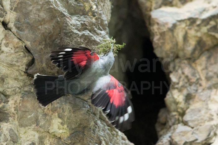 We spent a few hours trying to photograph a wallcreeper (Tichodroma muraria) as it carried nesting material into a crevice in a huge rock wall.