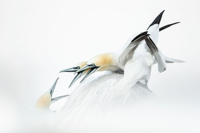 Gannets taken with a Canon EOS 1DX and EF600mm f4L IS II on the FlexShooter Pro