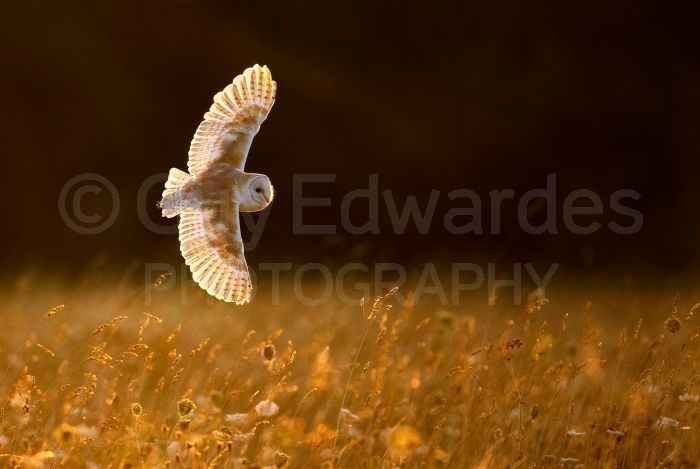 Barn Owl photographed with a Canon EOS 1DX and EF600mm f4L IS II on the FlexShooter Pro