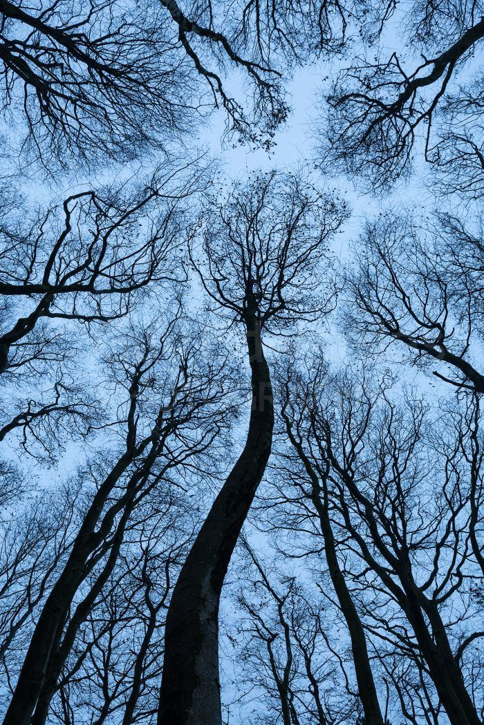 Looking up into the canopy of a small group of Beech Trees against a white winter sky.
