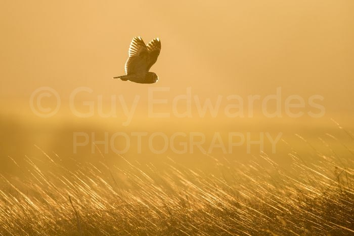The short-eared owls were not an easy subject and we had to rely upon them coming close enough for decent sized images.