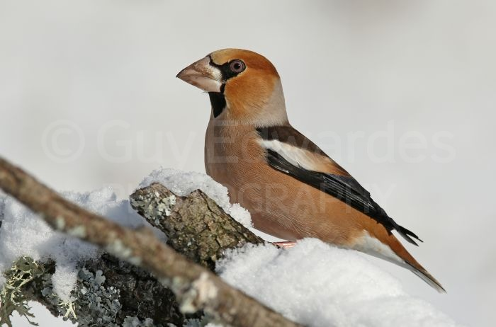 Hawfinch (Coccothraustes coccothraustes) © Roger Wasley