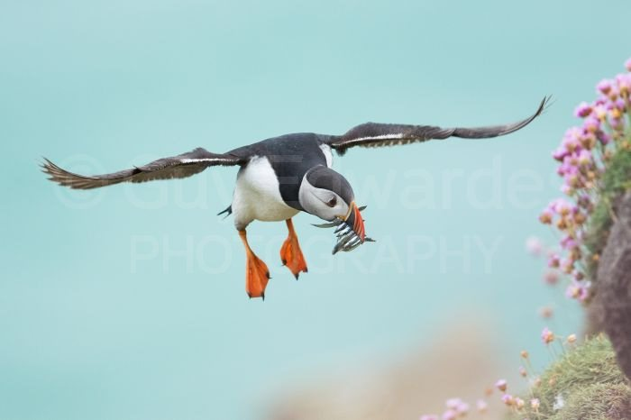 A puffin from my recent workshop in Ireland