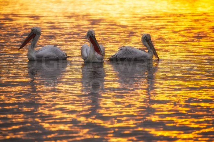 A trio of pelicans at sunrise