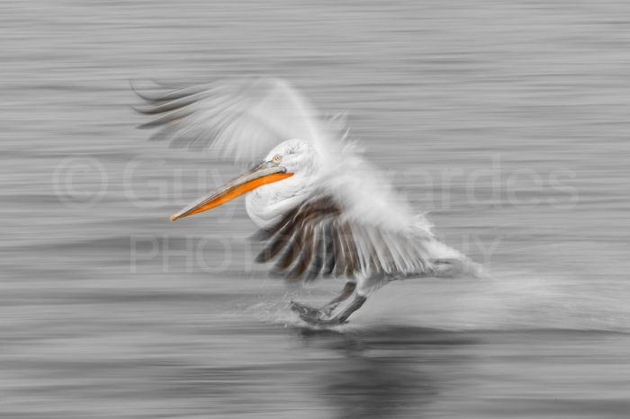 I find the best time to capture a pelican landing on the water is just as its feet touch down