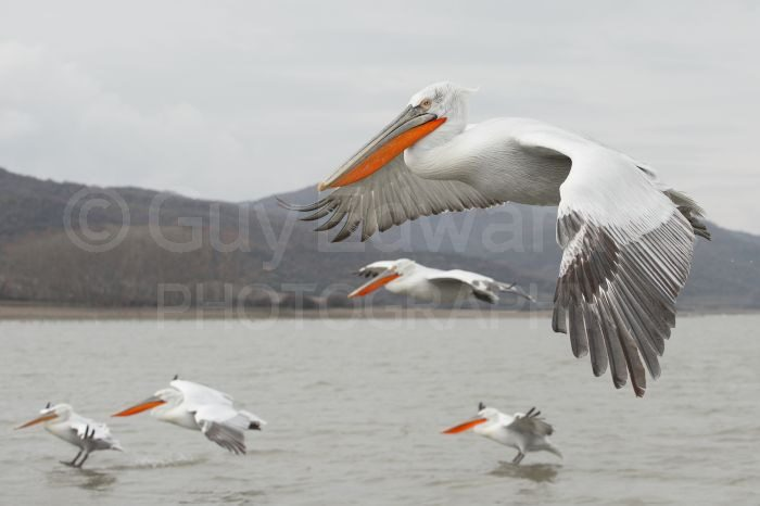 A group of pelicans flying alongside our boat as we made our way out onto the lake