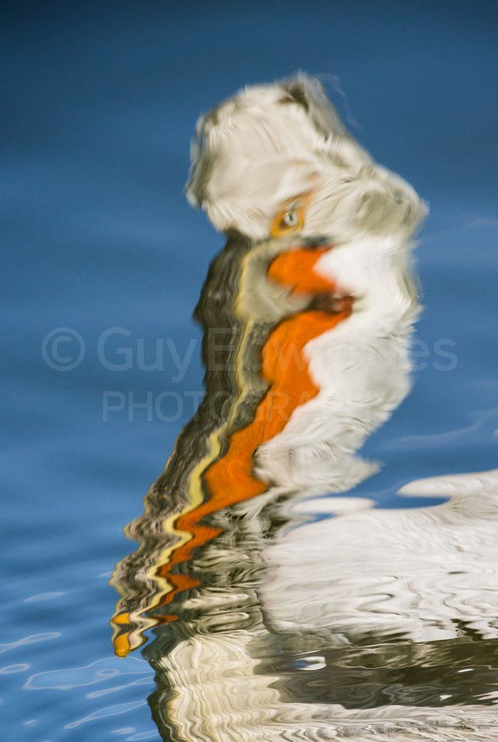 The distorted reflection of an adult pelican beside our boat