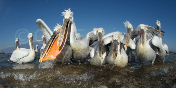 A group of hungry pelicans on the shore of Lake Kerkini, taken with a 15mm fisheye lens