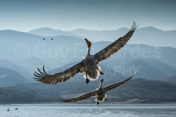 A pair of Dalmatian Pelicans (Pelecanus crispus) photographed against a backdrop of misty mountains.