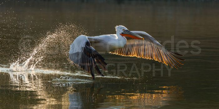 Late in the afternoon when the water is still enough it's possible to capture some nice backlit images of the pelicans taking off from the water
